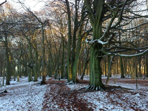 Snowy Beeches